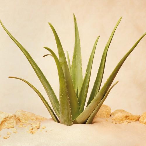 aloe vera zentrum aloe vera linn pflanze small aloe vera pflanzen produkte. Black Bedroom Furniture Sets. Home Design Ideas
